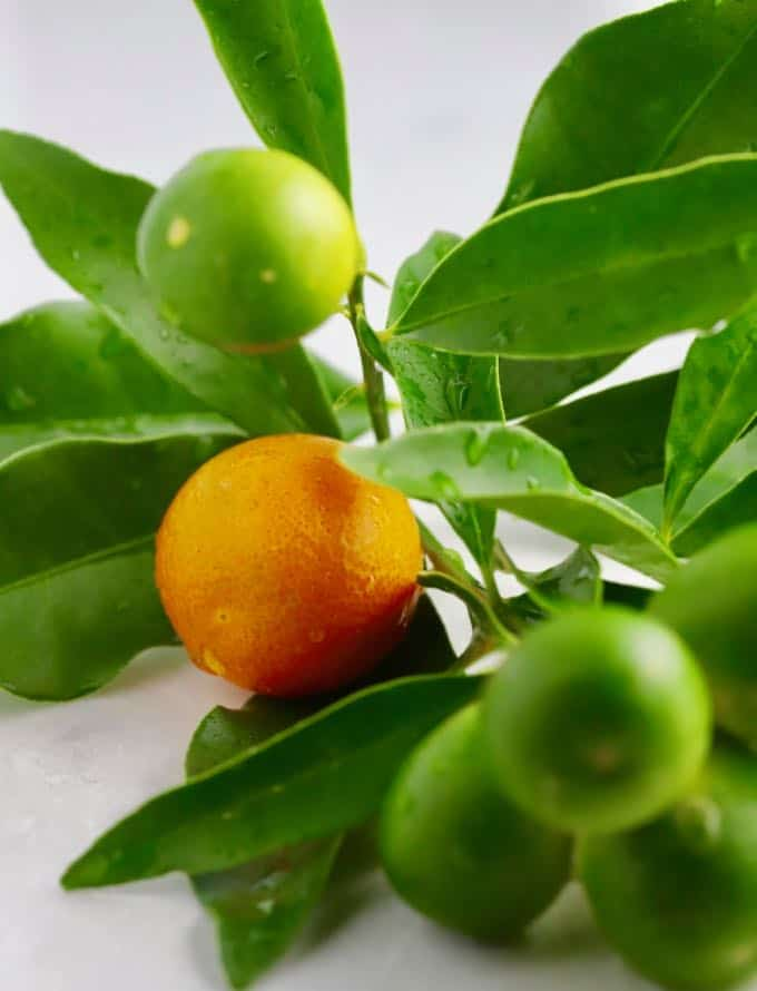 Ripe and unripe kumquats on a branch.